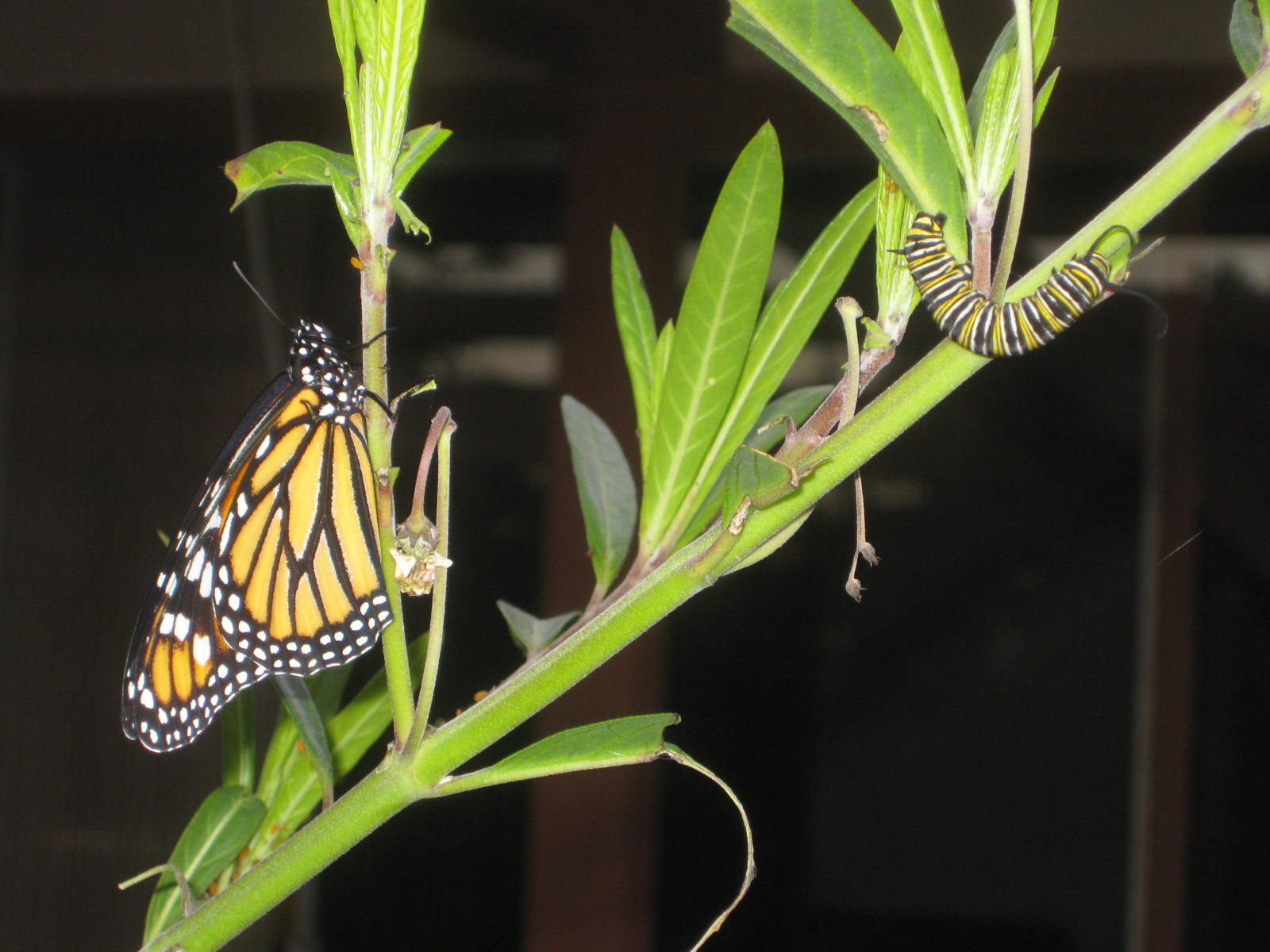 Photo of butterfly and caterpillar on milkweed