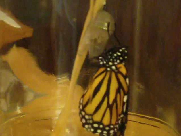 Photo/Movie of butterfly emerging from chrysalis
